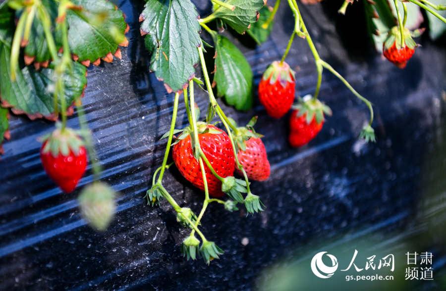生态采摘园温室大棚里已经成熟的草莓。(侯崇慧摄)