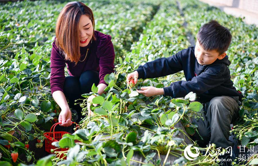 生态采摘园内游客正在采摘草莓,体验田园采摘乐趣。(侯崇慧摄)