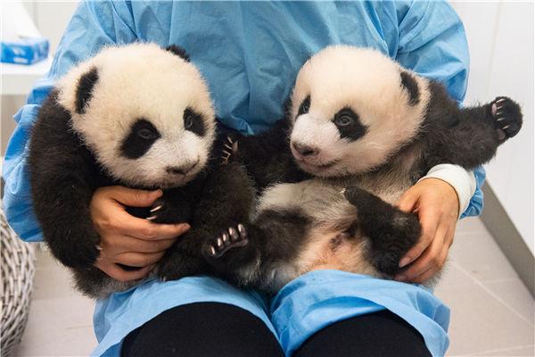 天堂动物园的大熊猫宝宝。(天堂动物园供图)