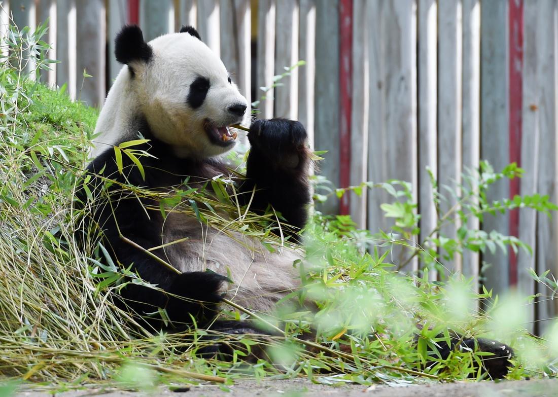 """这是9月7日在西班牙马德里拍摄的新生双胞胎大熊猫的父亲""""冰星""""。新华社发(古斯塔沃·巴连特摄)"""