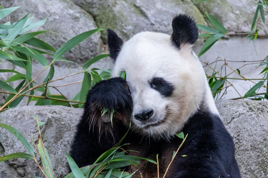 """这是9月7日在西班牙马德里拍摄的新生双胞胎大熊猫的父亲""""冰星""""。新华社记者 孟鼎博 摄"""